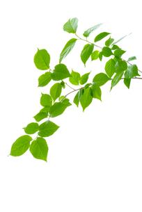 サクランボの木の新緑の写真素材 [FYI01614201]