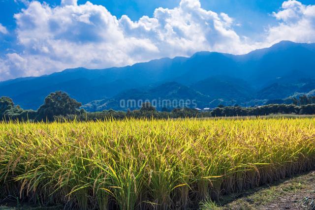 耳納連山を背景に実る稲穂の写真素材 [FYI01614272]