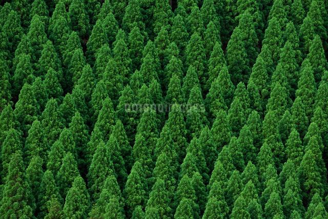 新緑の杉林の写真素材 [FYI01614327]