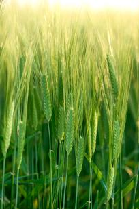大麦の麦穂の写真素材 [FYI01614458]