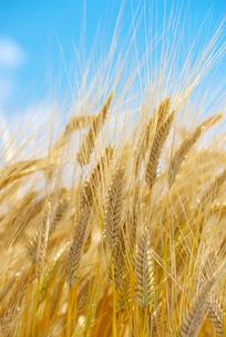 麦畑の写真素材 [FYI01614534]