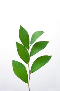 ブルーベリーの葉の写真素材 [FYI01614538]