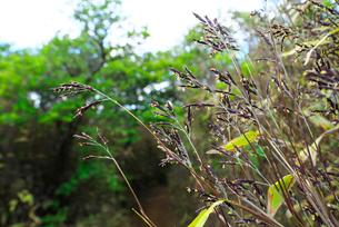 笹の花の写真素材 [FYI01614549]