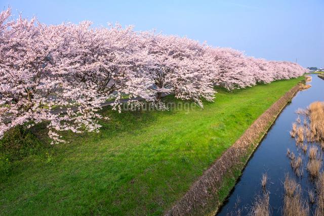福岡県 流川の桜並木の写真素材 [FYI01614578]