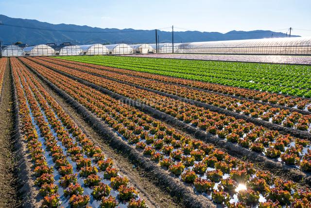 耳納連山を背景にレタス畑の写真素材 [FYI01614615]