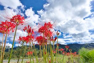 彼岸花と耳納連山の写真素材 [FYI01614686]