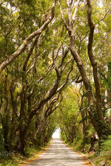 マホガニーの樹の並木道の写真素材 [FYI01614726]