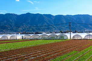 耳納連山を背景にレタス畑の写真素材 [FYI01614755]