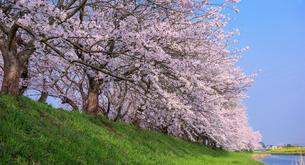 福岡県 流川の桜並木の写真素材 [FYI01614771]
