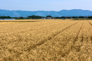 耳納連山を背にしたうきは市の麦畑の写真素材 [FYI01614900]