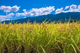 福岡県 耳納連山を背景に実る稲の写真素材 [FYI01615069]
