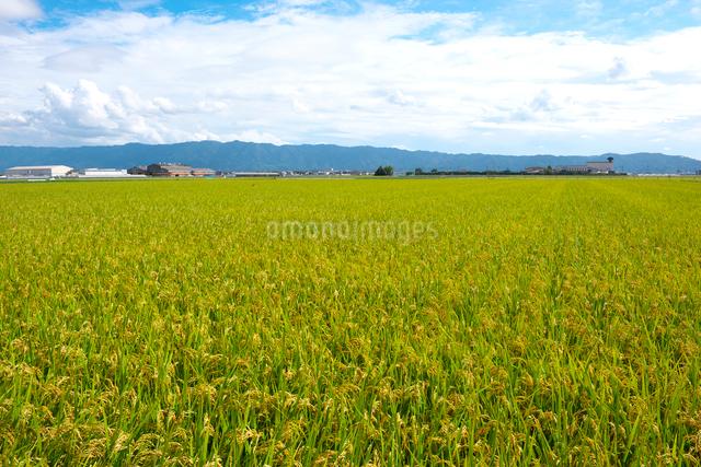 稲と耳納連山の写真素材 [FYI01615183]