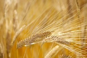 麦畑の写真素材 [FYI01615256]