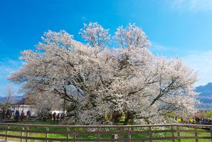熊本県 一心行の大桜の写真素材 [FYI01615309]