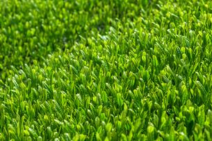 福岡県 八女中央大茶園の写真素材 [FYI01615327]