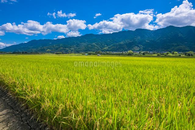 福岡県 耳納連山を背景に実る稲の写真素材 [FYI01615348]