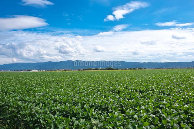 大豆畑と耳納連山の写真素材 [FYI01615653]