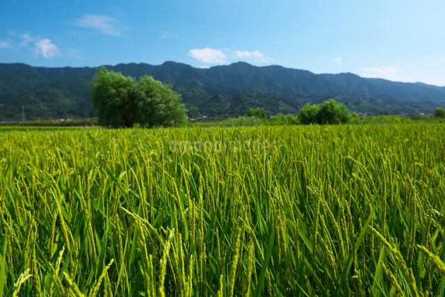 耳納連山と稲の写真素材 [FYI01615703]