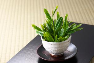 茶葉の写真素材 [FYI01615721]