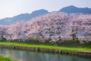 福岡県 流川の桜並木の写真素材 [FYI01615754]