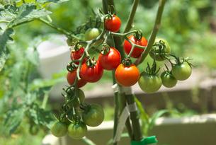 家庭菜園のプチトマトの写真素材 [FYI01615771]