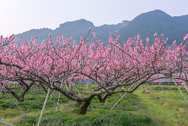 福岡県 耳納連山を背景に桃の花の写真素材 [FYI01615835]