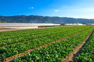 耳納連山を背景にホウレンソウ畑の写真素材 [FYI01615888]