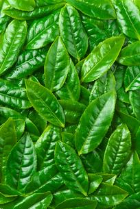 茶葉の写真素材 [FYI01616048]