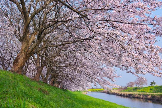 福岡県 流川の桜並木の写真素材 [FYI01616098]