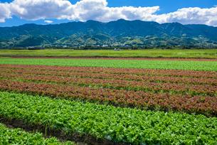 福岡県 耳納連山を背景にレタス畑の写真素材 [FYI01616585]