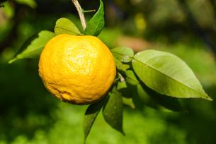 実る 柚子の写真素材 [FYI01617143]