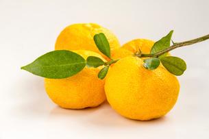 葉付き 柚子の写真素材 [FYI01617195]