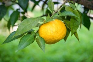 実る 柚子の写真素材 [FYI01617214]
