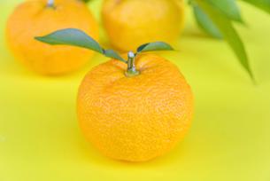 葉付き 柚子の写真素材 [FYI01617284]