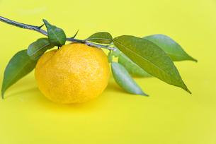 葉付き 柚子の写真素材 [FYI01617293]