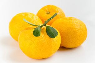 葉付き 柚子の写真素材 [FYI01617406]