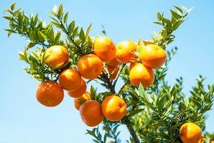 鑑賞用柑橘の写真素材 [FYI01617491]