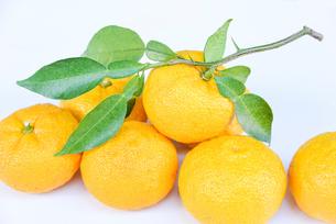 葉付き 柚子の写真素材 [FYI01617556]