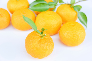 葉付き 柚子の写真素材 [FYI01617720]