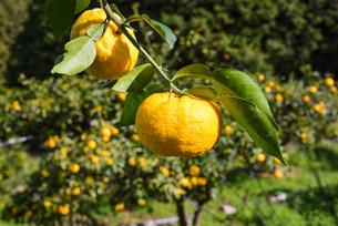 実る 柚子の写真素材 [FYI01617774]