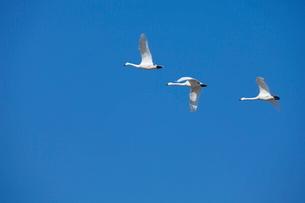 青空と白鳥の写真素材 [FYI01617907]