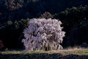 岩原の桜の写真素材 [FYI01618231]