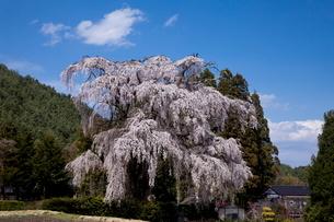 小倉の桜の写真素材 [FYI01618308]