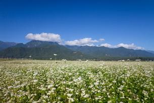 安曇野のソバ畑の写真素材 [FYI01618498]