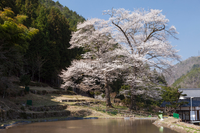 苗代桜の写真素材 [FYI01618642]