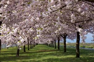 千曲川堤防の桜並木の写真素材 [FYI01618677]