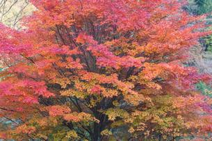 もみじ湖のカエデの紅葉の写真素材 [FYI01618766]