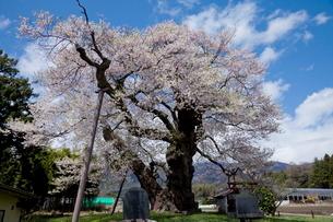 中曽根のエドヒガン桜の写真素材 [FYI01618829]