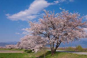 梓川堤防の桜並木の写真素材 [FYI01618901]
