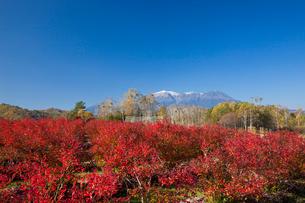 開田高原のブルーベリーの紅葉と御嶽山の写真素材 [FYI01618908]